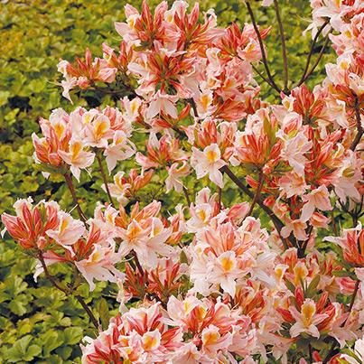 alpenrose rhododendron und azalee. Black Bedroom Furniture Sets. Home Design Ideas
