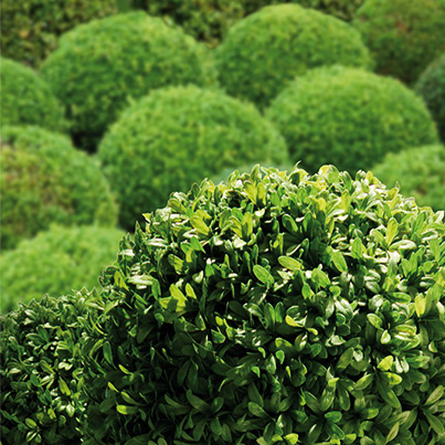 wann buchsbaum schneiden buchsbaum schneiden wann garten. Black Bedroom Furniture Sets. Home Design Ideas