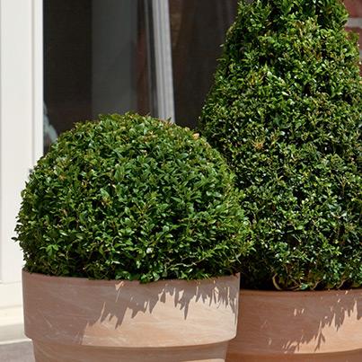 buchsbaum buxus sempervirens. Black Bedroom Furniture Sets. Home Design Ideas
