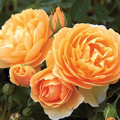 rosen rosaceae. Black Bedroom Furniture Sets. Home Design Ideas