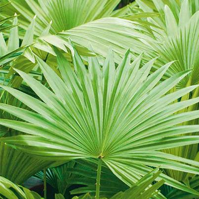 palmen bilder stunning tropische palmen mit sonne und ozean with palmen bilder interesting. Black Bedroom Furniture Sets. Home Design Ideas