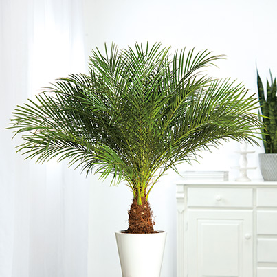 awesome palmen f r die wohnung images. Black Bedroom Furniture Sets. Home Design Ideas