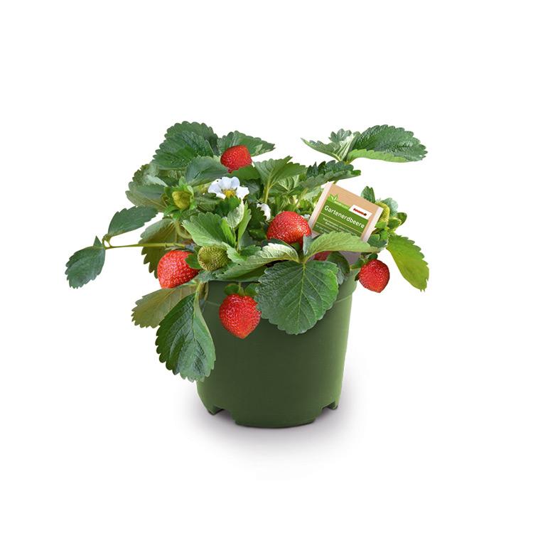 erdbeeren im topf deko deko erdbeeren im topf 15 cm. Black Bedroom Furniture Sets. Home Design Ideas