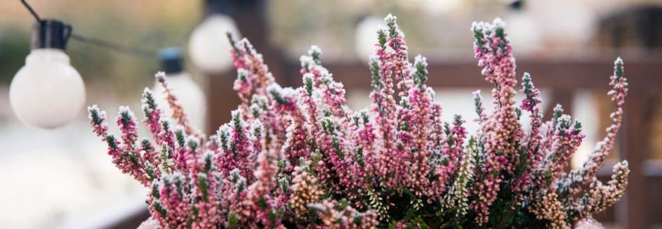 Balkon den winterpflanzen für Winterpflanzen im
