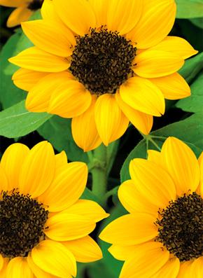 sonnenblumen gie en und pflanzen tipps von toom. Black Bedroom Furniture Sets. Home Design Ideas